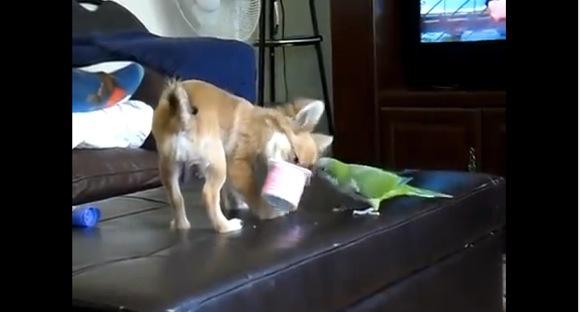 好可爱!小狗与鹦鹉争食优格的场面
