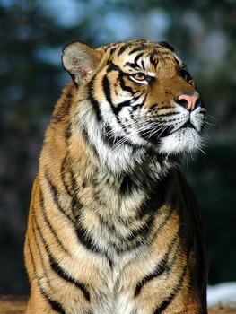 2ch翻译:没办法区分老虎和猫烦恼中,谁来救救我!