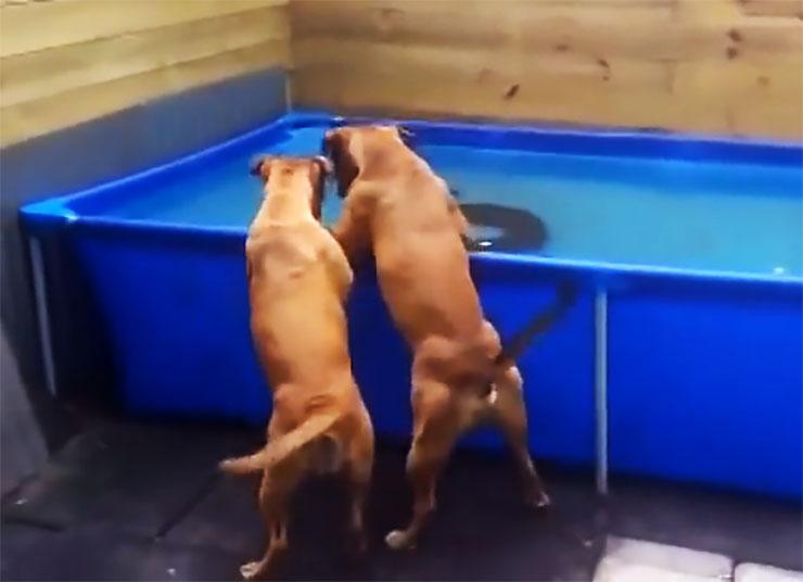 震撼!两只狗协力将掉进水池里的轮胎拖了出来!