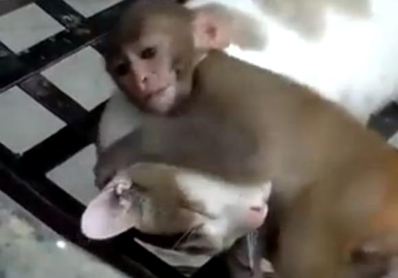 无论如何都想睡的猫 VS 无论如何都不让它睡的猴子