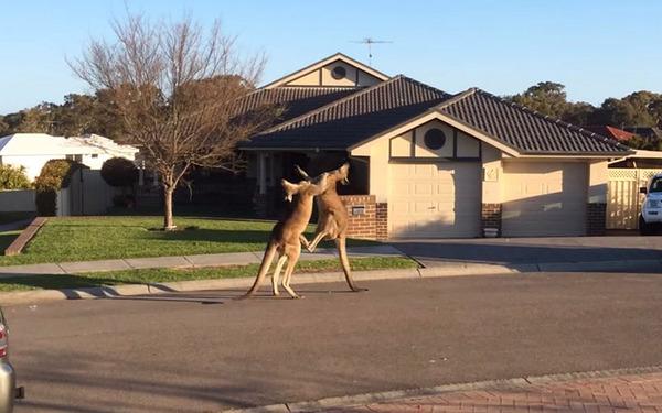 2ch翻译:澳洲,两只实力差不多的袋鼠在街上互殴吵架
