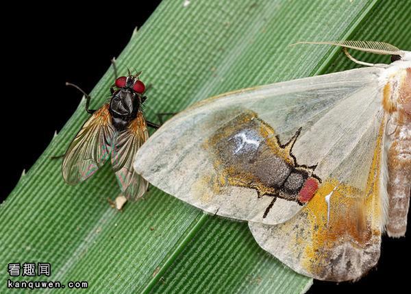 【微重口】2ch:翅膀上印着苍蝇图案的飞蛾好厉害,这从进化论上讲可能吗?