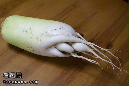 2ch翻译:和人的脚一模一样的萝卜被发现,连脚趾的大小和形状都很像