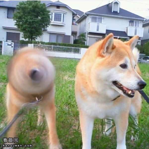 柴犬钻头与普通柴犬