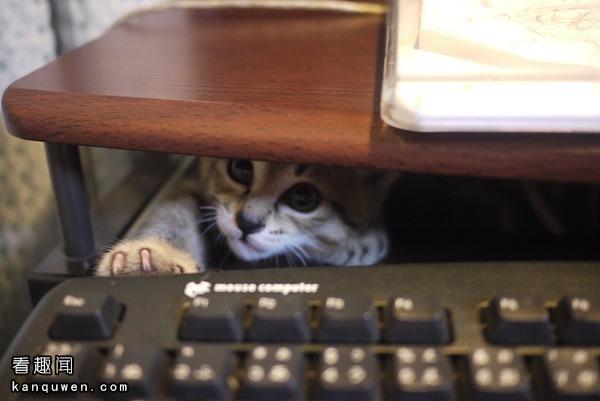 敲键盘的猫