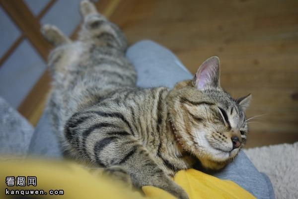 膝盖上睡觉的猫