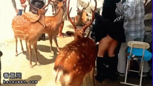 2ch:奈良的鹿,掀裙子成功
