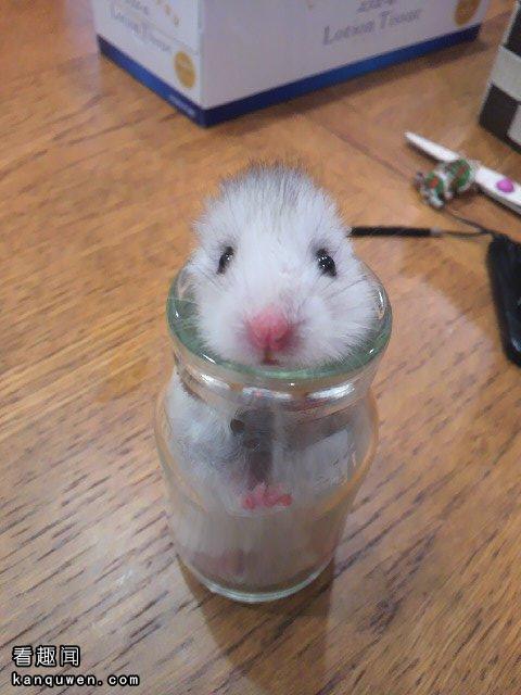 仓鼠速报:地震来的时候的仓鼠的行动www