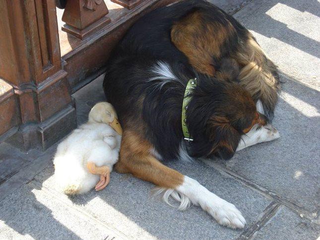 【激萌】好兄弟之鸭与狗